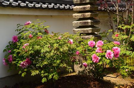 牡丹咲く本満寺