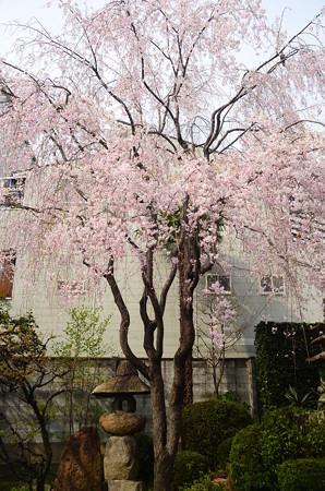 西正寺の八重紅枝垂れ