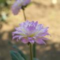 紫~クリーム色へ