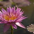 Photos: ピンクの睡蓮