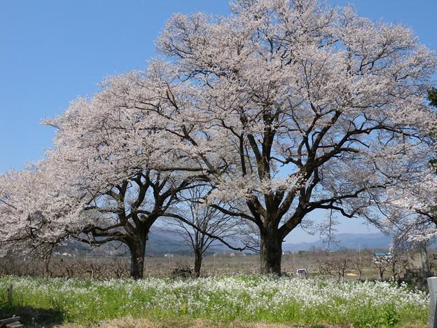 「夫婦桜」