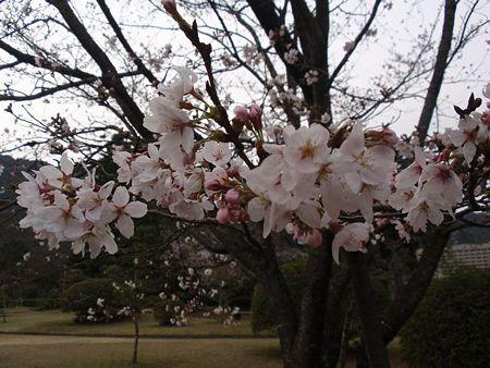山口 亀山公園の桜