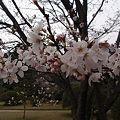 Photos: 山口 亀山公園の桜