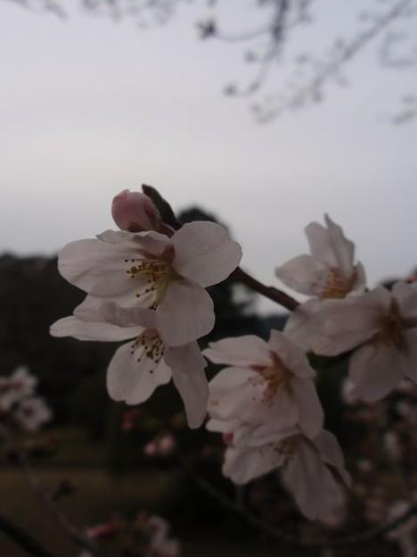 Photos: 桜~亀山公園