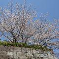 Photos: 鹿児島・鶴丸城跡の桜