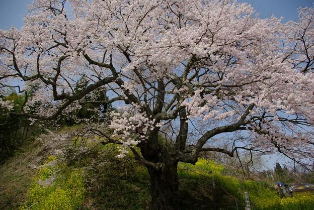 是哉寺地蔵桜6