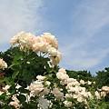 写真: 青空に夏バラ♪