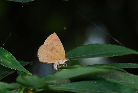 シジミチョウ科 ムラサキシジミ