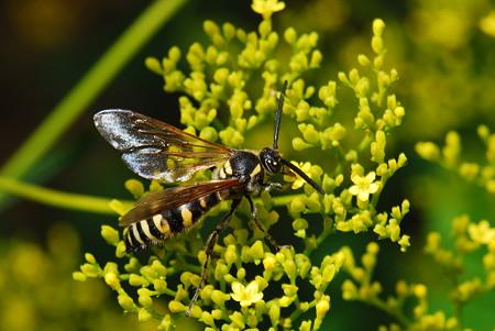 ツチバチ科 ヒメハラナガツチバチ♂