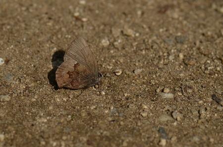 シジミチョウ科 コツバメ