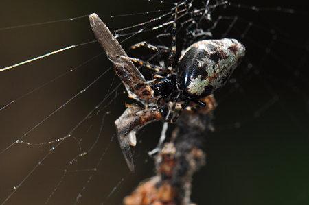 コガネグモ科 ギンメッキゴミグモ