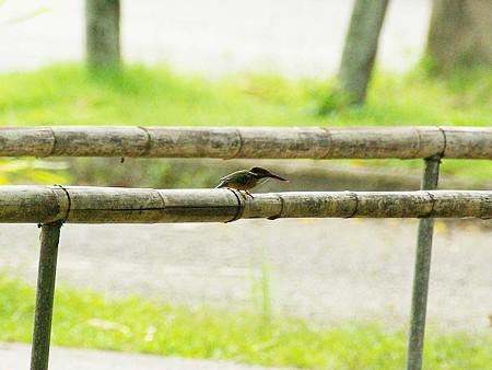 カワセミ(Common Kingfisher) IMGP47255_R
