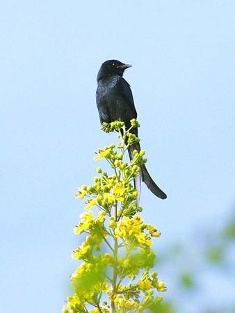 オウチュウ(Black Drongo) IMGP47367_R