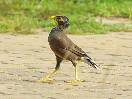 インドハッカ(幼鳥)(Common Myna) IMGP47390_R