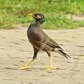 Photos: インドハッカ(幼鳥)(Common Myna) IMGP47390_R