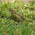 Photos: セアカスズメ(幼鳥)(Plain_backed Sparrow) IMGP47432_R