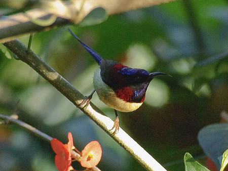 ムナグロタイヨウチョウ♂(Black-throated Sunbird) IMGP50569(LR)_R2