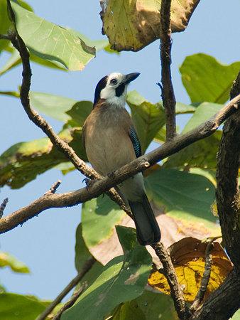 カケス(Eurasian Jay) IMGP55437_R