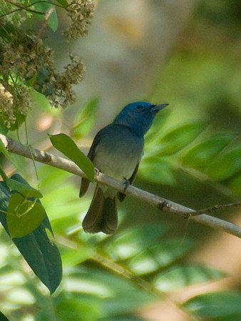 クロエリヒタキ♀(Black-naped Monarch) IMGP55906_R(800)