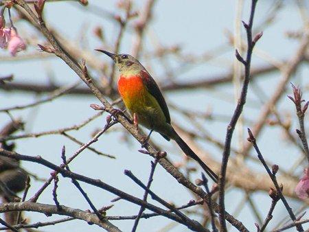 ルリオタイヨウチョウ(Gould's Sunbird) IMGP56653