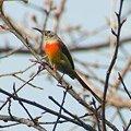 写真: ルリオタイヨウチョウ(Gould's Sunbird) IMGP56653