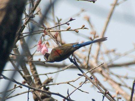 ルリオタイヨウチョウ(Gould's Sunbird) IMGP56655