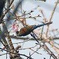 Photos: ムナグロタイヨウチョウ(Black-throated Sunbird) IMGP56655