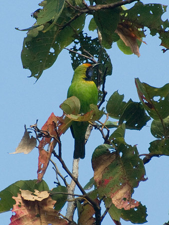 キビタイコノハドリ(Golden-fronted Leafbird) IMGP57300_R