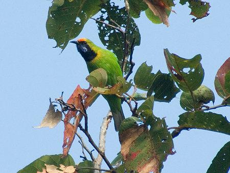 キビタイコノハドリ(Golden-fronted Leafbird) IMGP57299_R