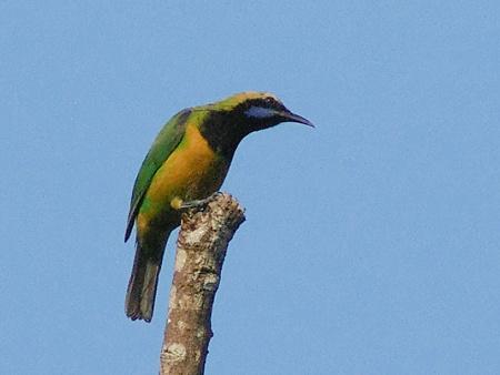 アカハラコノハドリ(Orange_bellied Leafbird) IMGP22476_R(LR+NI)