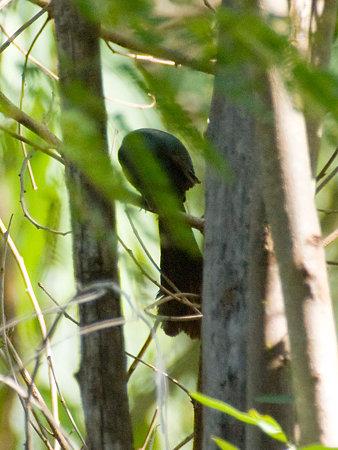 クロラケットオナガ(Racket-tailed Treepie) IMGP100481_R