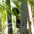 Photos: クロラケットオナガ(Racket-tailed Treepie) IMGP100481_R