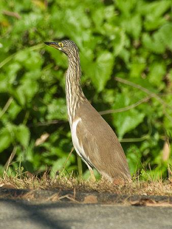 アカガシラサギ(Chinese Pond-heron) IMGP104498_R
