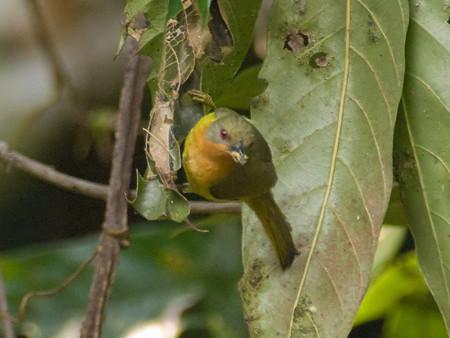 ホウアカコバシタイヨウチョウ(Ruby-Cheeked Sunbird) IMGP105495-3(R)_(NI)