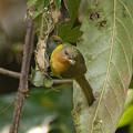 Photos: ホウアカコバシタイヨウチョウ(Ruby-Cheeked Sunbird) IMGP105495-3(R)_(NI)