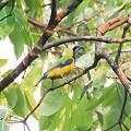 写真: アカハラコノハドリ(Orange_bellied Leafbird) IMGP110679_R_(NI)