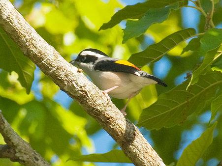 アカバネモズチメドリ♂(White-browed Shrike Babbler) IMGP102658_R2