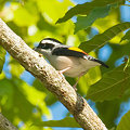 Photos: アカバネモズチメドリ♂(White-browed Shrike Babbler) IMGP102658_R2
