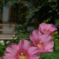 Photos: 07,08,06妙隆寺ふよう