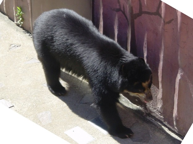 メガネグマ Spectacled Bear