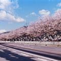 900 嬬恋村三原R144沿いのサクラ by ホテルグリーンプラザ軽井沢
