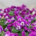 121 中庭に咲く花々 2009年5月5日撮影 by ホテルグリーンプラザ軽井沢