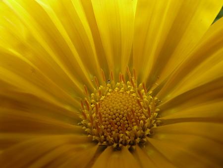 ガザニアの花〜お誕生日のお祝い?