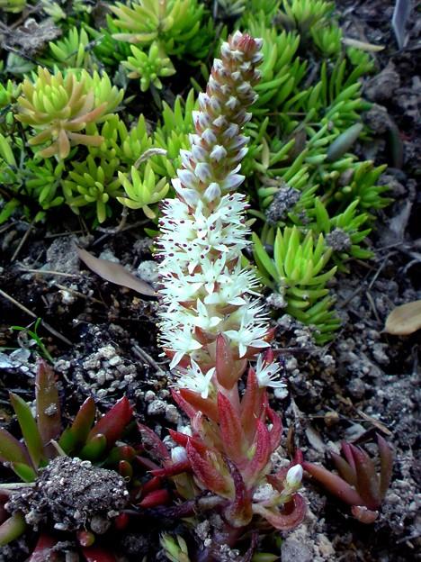 Photos: 多肉植物の花