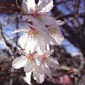 Photos: コヒガンザクラ(小彼岸桜)の園芸品種で,4 月上旬と 10 ~ 12 月の 2 回花が咲きます。