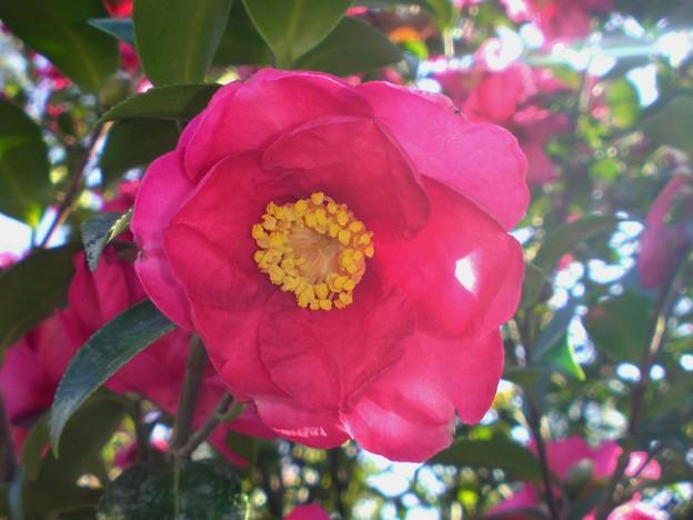 サザンカ(山茶花)ツバキ科の常緑広葉樹。