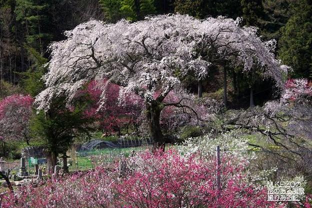 黒船の桜 (16)