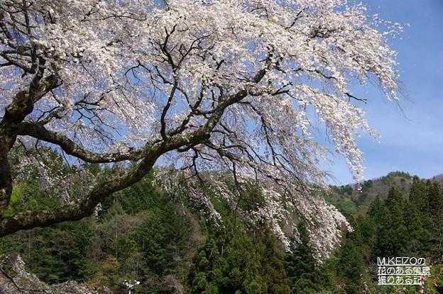 黒船の桜 (10)