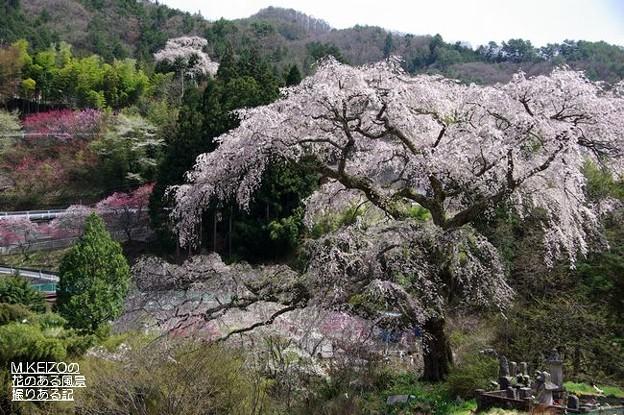 黒船の桜 (7)