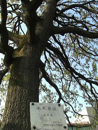 区の名木 クヌギ